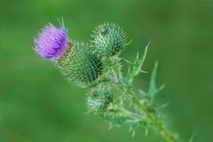 Kwiat Silybum marianum, Dojny oset Zdjęcia Stock