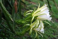 Kwiat smoka insekt i owoc Obraz Royalty Free