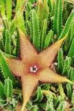 Kwiat Stapelia kwiat Zdjęcia Stock