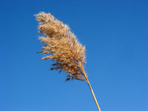 kwiat suszy trawę reed Fotografia Stock