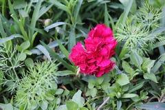 Kwiat szkarłatny goździk w lato ogródzie 30748 Zdjęcia Stock