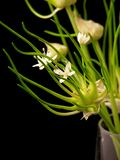 kwiat szklana wazę cebulowe Zdjęcia Stock