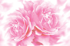 kwiat tła rose Obraz Royalty Free