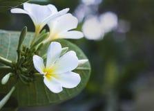 kwiat tajlandzki Zdjęcie Royalty Free
