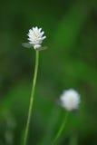 Kwiat trawa Zdjęcia Stock