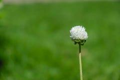 Kwiat trawa samodzielna na zieleni pola tle Zdjęcia Stock
