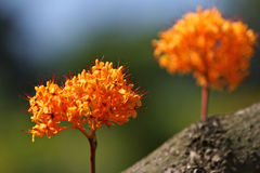 kwiat tropikalny Zdjęcie Royalty Free