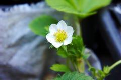 Kwiat truskawka przed kwitnąć zdjęcia royalty free