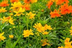 Kwiat w chiangmai Tajlandia Zdjęcie Royalty Free