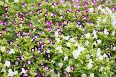 Kwiat w chiangmai Tajlandia Fotografia Stock