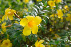 Kwiat w chiangmai Tajlandia Obraz Royalty Free
