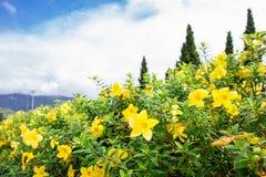 Kwiat w chiangmai Tajlandia Obrazy Royalty Free