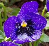 Kwiat w deszczu Fotografia Royalty Free