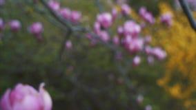 kwiat?w magnolii menchie Magnoliowy drzewny okwitni?cie zbiory wideo
