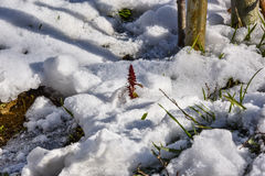 Kwiat w śniegu Obraz Royalty Free