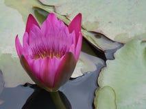 Kwiat w stawie fotografia stock