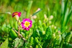 Kwiat w trawie Obrazy Royalty Free