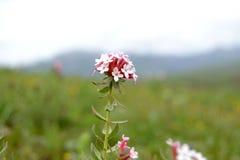 Kwiat w Tybet plateau Obrazy Royalty Free