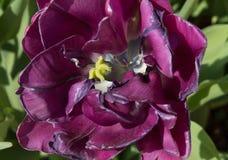 Kwiat wałkoni się tulipany na zielonej trawie makro- Zdjęcie Royalty Free