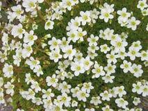 kwiat white wzoru Obraz Royalty Free