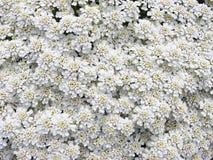 kwiat white wzoru Zdjęcia Royalty Free