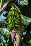 Kwiat wiązka banany przeciw zieleni opuszcza przy plantacją, kanarowi banany Obrazy Stock
