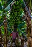 Kwiat wiązka banany przeciw zieleni opuszcza przy plantacją, kanarowi banany Zdjęcie Stock