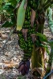 Kwiat wiązka banany przeciw zieleni opuszcza przy plantacją, kanarowi banany Zdjęcia Royalty Free