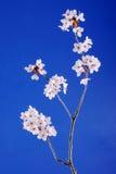 kwiat wiśni Obrazy Royalty Free