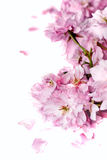 kwiat wiśni Zdjęcia Royalty Free