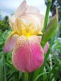 kwiat wiśni tła kwitnie niebo białe Zdjęcie Stock