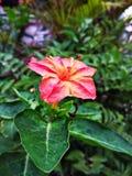 kwiat wiśni tła kwitnie niebo białe Zdjęcia Stock