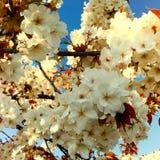 kwiat wiśni tła kwitnie niebo białe Obraz Stock