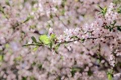 Kwiat wiśni zakończenie Obraz Royalty Free