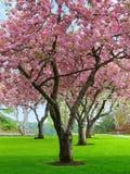 kwiat wiśnia zdjęcie royalty free