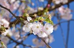 kwiat wiśnia folował drzewa Fotografia Stock