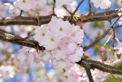 kwiat wiśnia folował drzewa Zdjęcie Royalty Free