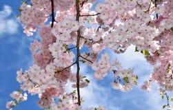 kwiat wiśnia folował drzewa Obraz Royalty Free