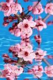 kwiat wiśni Obraz Royalty Free