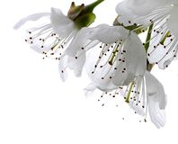 kwiat wiśni Obraz Stock