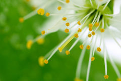 kwiat wiśni green Obrazy Royalty Free