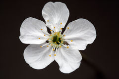 kwiat wiśniowe drzewo Obrazy Stock