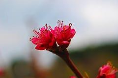 Kwiat wiosna przed dojrzałym owocowym Petrich, drzewo Obraz Royalty Free