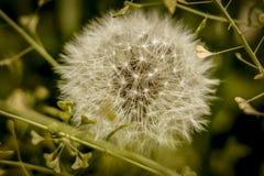 Kwiat wiosny dandelion makro- Fotografia Royalty Free