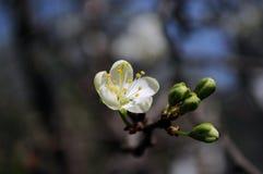 kwiat wiosny leśny white Zdjęcia Stock
