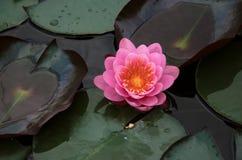 Kwiat wodna leluja Fotografia Royalty Free