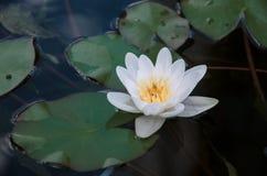 Kwiat wodna leluja Obrazy Royalty Free