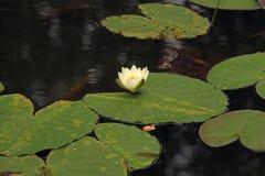 Kwiat wodna leluja w stawie fotografia royalty free