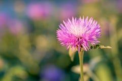 Kwiat wybielanie Chabrowy Zdjęcia Stock