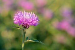 Kwiat wybielanie Chabrowy Obrazy Stock